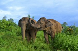Image credit: E. Gilchrist / the Golden Triangle Asian Elephant Foundation.