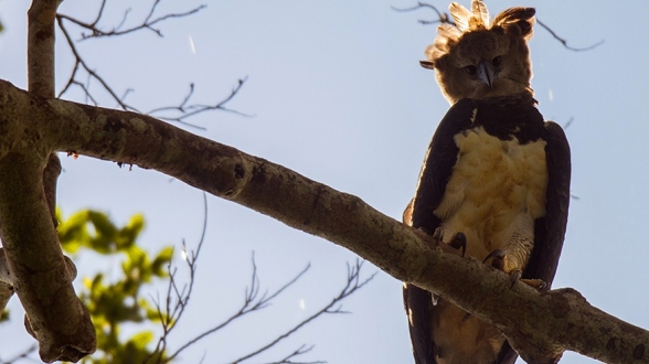 (Harpy Eagle in the Amazon.  Photo Credit: Jeff Cremer/Lucas Bustamante/Jaime Culebras)