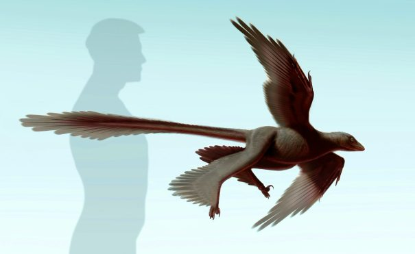 """A """"Life Reconstruction"""" of Changyuraptor yangi. Image Credit:Image credit: S. Abramowicz / Natural History Museum of Los Angeles County)"""