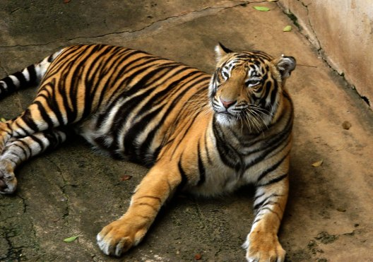 Bengal Tiger Feature Image