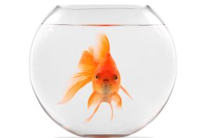 Lone Goldfish Theory
