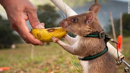 Positive reinforcement. (Image Credit: Apopo/CNN.com)