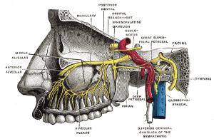 Sphenopalatine ganglion