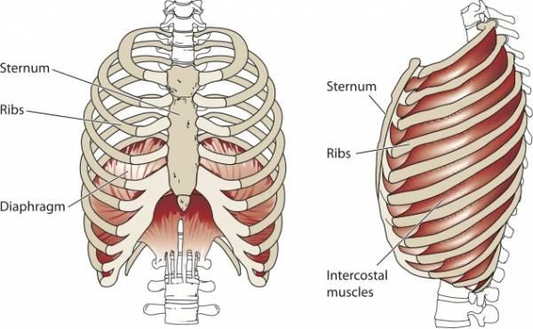 diaphragm image