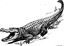 soft underbelly crocodile drawing